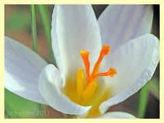 Colchicum autumnale var. album (PheCrew) Tags: flower macro nature closeup photoshop album natura fiore soken phecrew colchicumautumnalevaralbum