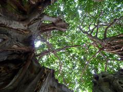 Inside the Banyan Tree (Barefoot In Florida) Tags: banyantree stpetersburgflorida straubpark