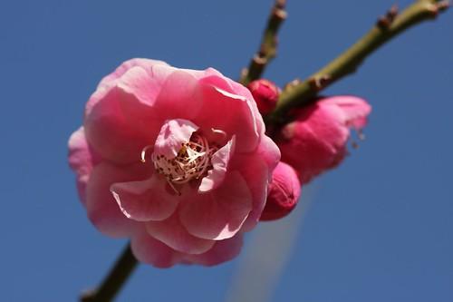ウメ(梅) / Prunus mume