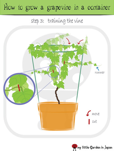 How-to-grow-a-grapevine-in-a-container-4
