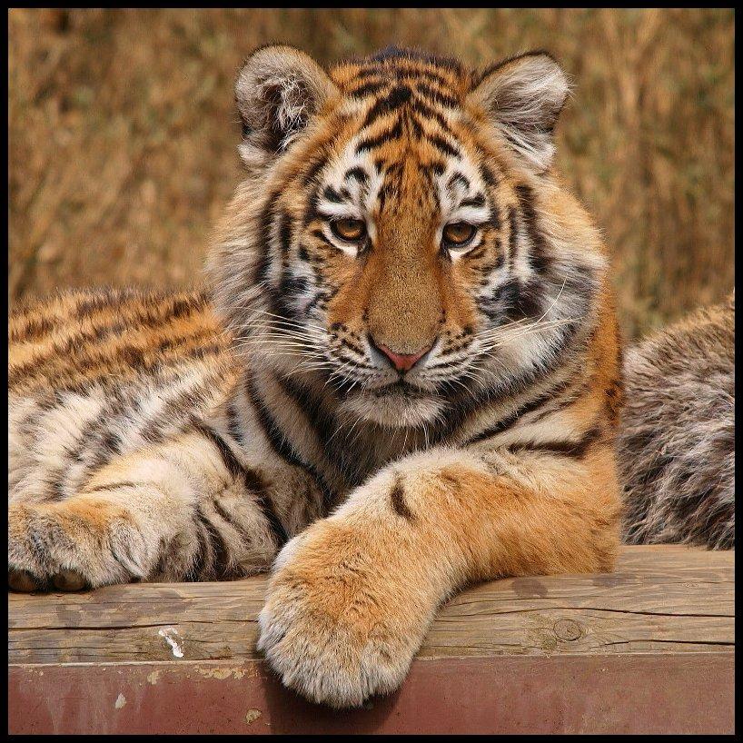 Открытки, прикольная картинка с тигром