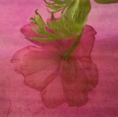 diaphane renoncule (peltier patrick) Tags: flowers red flower macro leave nature fleur rose fleurs plante garden square rouge petals berry lumire magenta violet jardin vert petal couleur ptale feuille carr renoncule ptales peltierpatrick