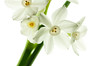clarity (nosha) Tags: new winter flower beautiful beauty photography newjersey nikon nj jersey narcissus lightroom d300 105mmf28 2011 nosha nikond300