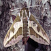 Spurge Hawk-moth (Peter Dunn)