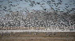 Swarm of sandhill cranes, Ross geese and Snow Geese