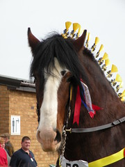 484 (remarkable trees) Tags: bay shire rosettes stallion 2010 springshow plaited shirehorses inhand eastofengland