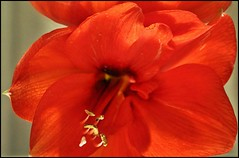 Red flower (ceca67) Tags: red flower color macro rot closeup photo amarylis crveno cvet