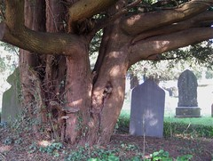 Ancient yew (wonky knee) Tags: uk wales churchyard yews welshpool ancienttrees guilsfield arbrecentenaire staelhaiarnchurch