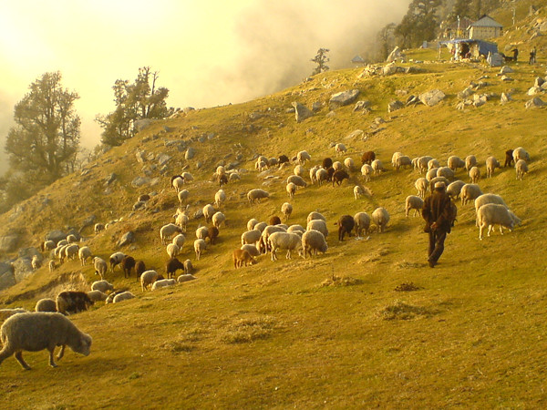 Triund Grazing Sheeps 01