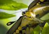 butterfly (JKG II) Tags: california face tongue closeup butterfly insect spiral losangeles mating challengeyouwinner thechallengefactory thepinnaclehof kanchenjungachallengewinner thepinnacleblog pregamesweepwinner pregameduelwinner tphofweek221