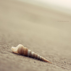 Simplicity is beautiful (Louise Denton) Tags: ocean sea beach beautiful project 50mm sand cone shell crab shore simplicity curl 365 simple washedup odc lifeissimple niftyfifty canon450d ourdailychallenge