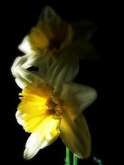 Daffodils 3 (♥ Katie ann. Off more than on.) Tags: acelebrationoflight brillianteyejewels flickrsfantasticflowers amazingdetails handselectedphotographs mamasbloomers mygearandme mygearandme1 silveramazingdetail