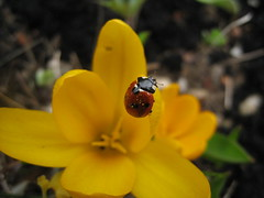 ODC Begins with L  Ladybird on a crocus (Quiltingsusy) Tags: yellow crocus ladybird ourdailychallenge