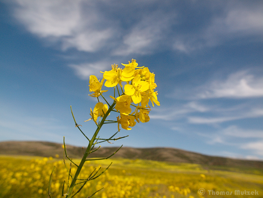 Mustard Flower, San Mateo, California, March 2011