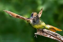 _53F5823 Crash Landing (~ Michaela Sagatova ~) Tags: bird nature fauna wildlife landing dundas michaela bif flycatcher birdinflight greatcrestedflycatcher myiarchuscrinitus birdphotography dvca michaelasagatova sagatovanaturebirdwildlifefaunaphotographycanon