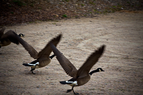 110315 Geese