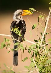 _DSC0432.jpg (jc_on_vacation) Tags: africa birds animals kenya places hornbills easternyellowbilledhornbill tockusflavirostris samburunp