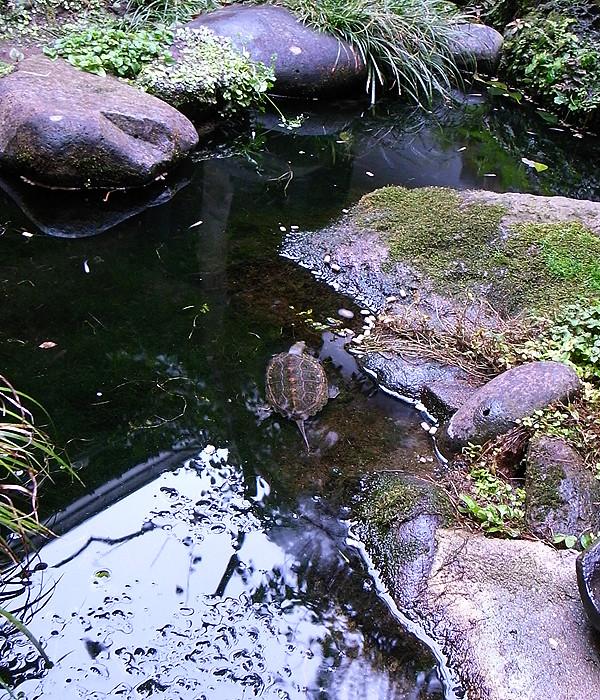 日本イシガメ