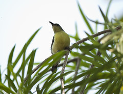 Sunbird (Sandeep Santra(Searching Jobs ~ A Bit busy)) Tags: india green bird yellow closeup canon photography birding sunbird westbengal moutushi flickraward eos500d mygearandme sandeepsantra