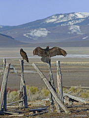 Sunning turkey vultures, E Nevada (Tatiana Gettelman) Tags: pictures mountains bird nature birds animal animals fence turkey outdoors photo wings natural image photos pics wildlife nevada creative picture commons pic images vultures photographs photograph vulture aura avian cathartes sunning