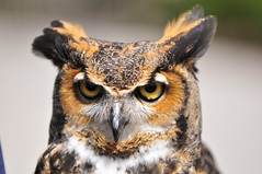 Horned Owl (33Tazz) Tags: tom owl horned schoon