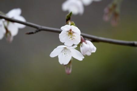 古城绽樱花10