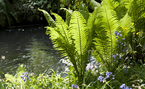 Ferns on the River Bank - Copyright R.Weal 2011