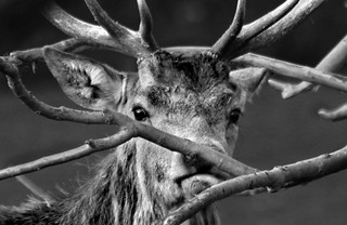 Red deer stag b&w