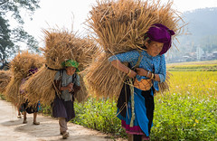 Hill tribes women at work (Yan Lerval) Tags: dongvan hagiang vietnam costume effort ethnic farm fields green harvest hay hilltribe jewelry labor load purple ricefield roughness straw toughness traditions tribe women work hgiang vn