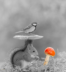 red mushroom (Geert Weggen) Tags: nature animal red perennial closeup cute plant moss funny happy ground bright light bird food seed mushroom fall squirrel rodent mammal tit titmouse sweden geert weggen jmtland ragunda