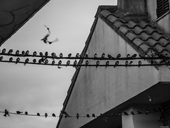 Se fueron; pero, volvern (Luicabe) Tags: ngc airelibre animal ave blancoynegro cabello cable enazamorado exterior formacin golondrina luicabe luis monocromtico naturaleza pjaro tejado yarat1 zamora zoom