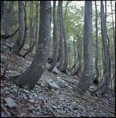 Slovenian forests (steve-jack) Tags: slovenia forest hasselblad 501cm 80mm cb fujicolour 100 expired film medium format fuji 120 6x6