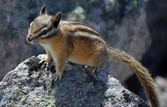 Mountaintop Chipmunk (Sotosoroto) Tags: dayhike hiking mtrainier burroughsmountain cascades mountains washington animal chipmunk