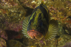 treefishSept30-16 (divindk) Tags: anacapa anacapaisland babati californiaunderwater channelislands channelislandsnationalpark sanmiguelisland santabarbara santacruzisland santarosaisland sebastesserriceps underwater ventura diverdoug marine ocean reef sea stripes treefish underwaterphotography