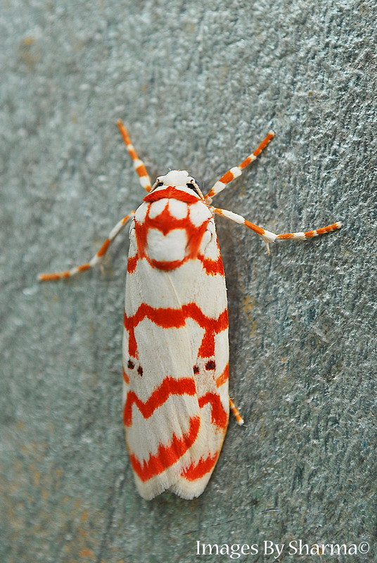 Red Spotted Moth