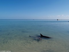 Shark Bay - Western Australia (dangellaurent) Tags: wild nature animal dolphin wildlife australia dauphin westernaustralia australie sharkbay australieoccidentale