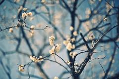 in bloom (konafoto) Tags: sky tree japan 50mm tokyo nikon bokeh mini minimal fullframe fx simple ume  d700 flickraward nikond700 hakubai nikon700 konafoto