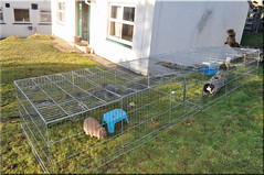 Super size rabbit run! (Niseag) Tags: playing rabbit bunny bunnies garden run islay jura rabbits lopeared lops