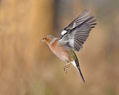 Flight of the Chaffinch (Andrew Haynes Wildlife Images ( away for a while )) Tags: nature cafe wildlife flight coventry warwickshire chaffinch brandonmarsh canon7d ajh2008