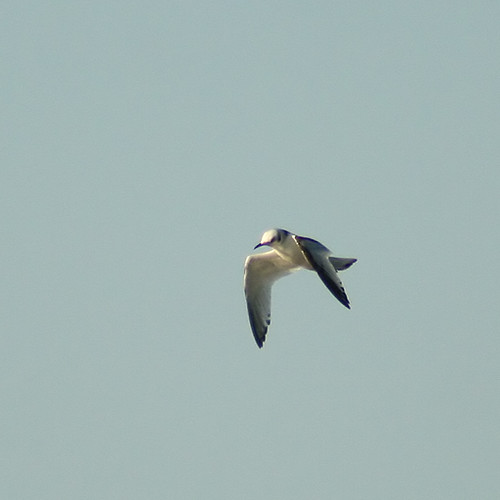 Black-Legged Kittiwake 1