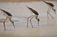 Black winged Stilt -immature (Gurusan2010) Tags: birds tamilnadu himantopushimantopus blackwingedstilt eos400d tamilnadubirds commonstilt sigma120400