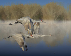 Bosque Morning (snowpeak) Tags: bosquedelapache sandhillcranes topazsimplify mothernaturesgreenearth