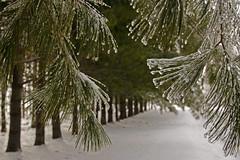 Frozen Drops (dbushue) Tags: trees winter ice frozen illinois drops midwest branches pines 2011 blueribbonwinner coth supershot naturesgarden itsawonderfulworld theunforgettablepictures damniwishidtakenthat coth5 dailynaturetnc11