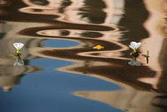 Flowers & reflection  1    (  asaf pollak) Tags: old flowers india reflection water nikon north structure pollack assaf rajasthan  bundi waterflowers     d80      asafpollak