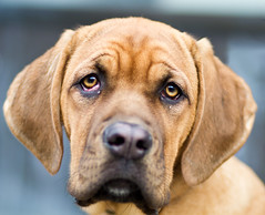 Faith, a Rhodesian Ridgeback Puppy in Kensington Market, Toronto (Christopher Brian's Photography) Tags: portrait dog toronto cute puppy eyes bokeh faith kensington rhodesianridgeback petportrait wideopen cherryeye canonef85mmf18usm canoneos7d