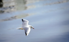 Yay! More gulls - 76 of 365Y2 (Ian Livesey) Tags: uk bird water flying gull salfordquays salford