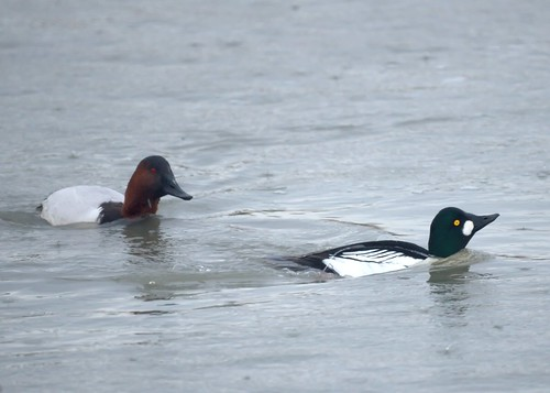 Common Goldeneye and Canvasback