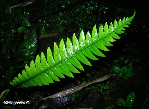 <br><br><br><br>Fronde estéril o fotosintética del helecho <i>Blechnum mochaenum</i>, creciendo en el Monumento Natural Contulmo, Cordillera de Nahuelbuta, Región de la Araucanía.