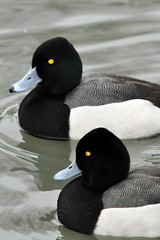 Lesser Scaup Twins (affinity579) Tags: winter wild nature blackwhite twins nikon quebec wildlife ducks lesserscaup 70200mm ecomuseum d90 specanimal