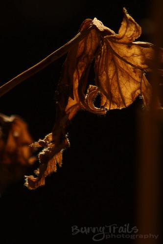 50 - night leaf